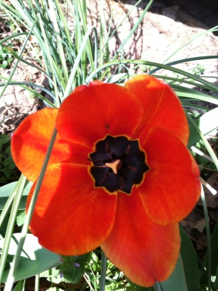 My only tulip (so far) to have survived the cold snap.It sits almost under my porch.