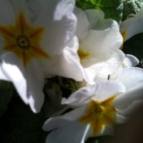 Spring primroses masquerading as calla lilies