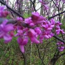 Redbuds all around