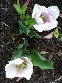 Tulips still blooming