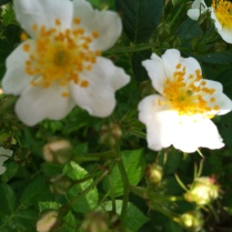 The beautiful wild rose by the Wayne River. They have a lovely smell.