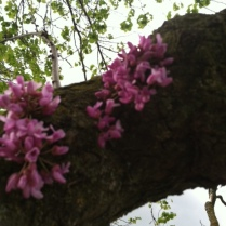Redbuds blossoms came out late on what looked like a dead trunk of an old old tree at EMU