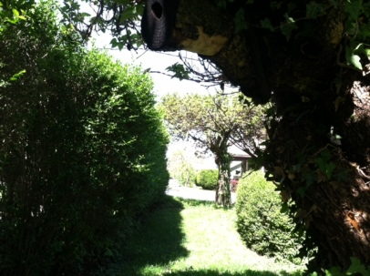 View of Hedge and Catalpa in the Summer Time