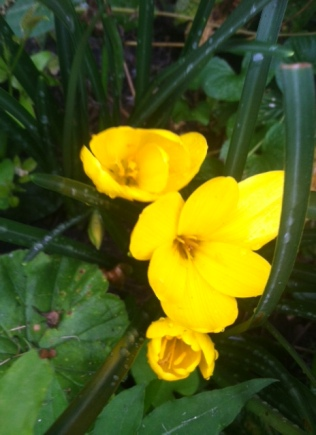 Yellow fall crocuses