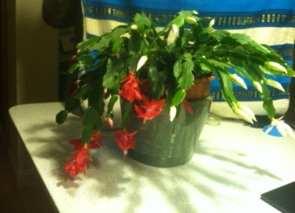 White and red Christmas cactus.