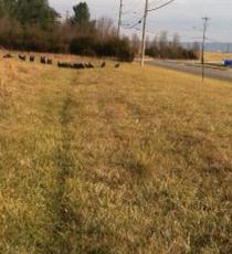 Ravens having a feast in Harrisonburg near the School Board Building