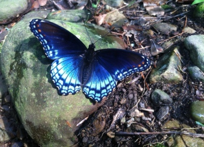 Indigo on the butterfly