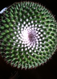 The spiral galaxy in the prickly plant.