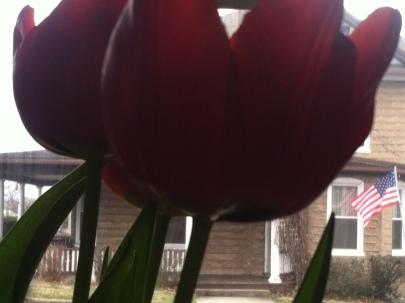 Tulips inside