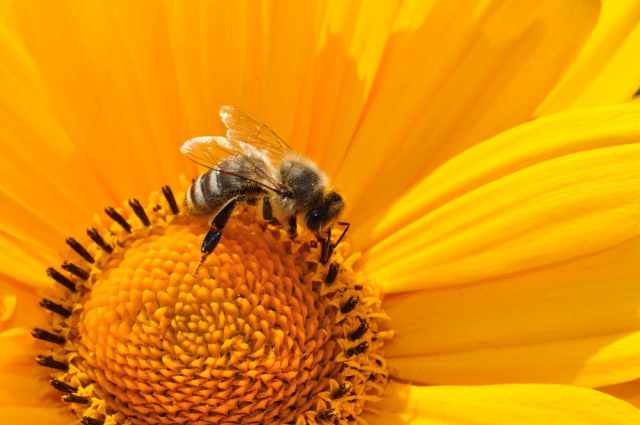 bee-pollen-nectar-yellow-67560.jpeg