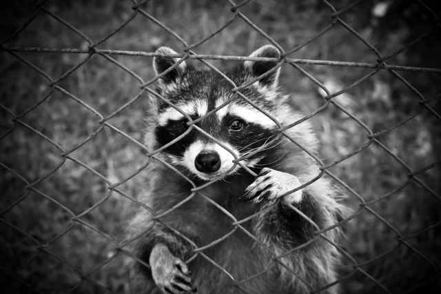 raccoon-animal-animal-world-wildlife-photography-160709.jpeg