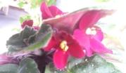Violets hiding under leaves
